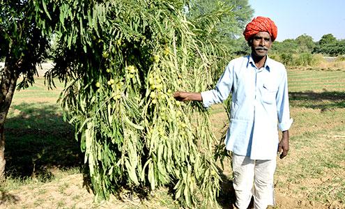 Plantation of fruit bearing trees